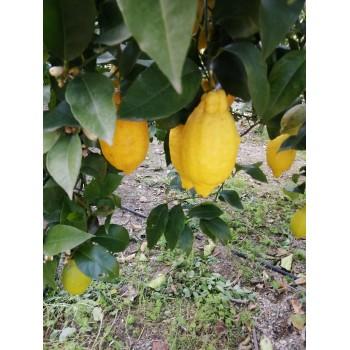 Citron bio du jardin